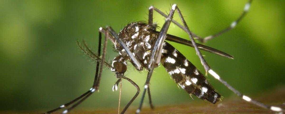 Les moustiques : piqûre d'insectes